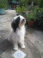 Arwen_tibetan_terrier_dog_ training_dog_trainer_canine_behaviour_kent