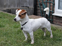 Cracker-jack-russell-x-chihuahua-dog-training-the-dog-trainer-kent