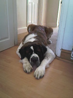 Henessey-3-St. Bernard-dog-training-dog-trainer-kent-se-england