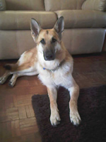Tia-german-shepherd-dog-training-the-dog-trainer-sittingbourne-faversham-herne-bay-kent