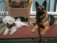 viva_german_shepherd_bijon_ frise_dog_ training trainer_kent_home_visit_services_dover_folkestone